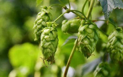 Pivo jako ozdravný nápoj? Čeští vědci na tom pracují